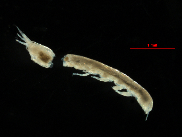 Image of <i>Leptochelia dubia cmplx</i>