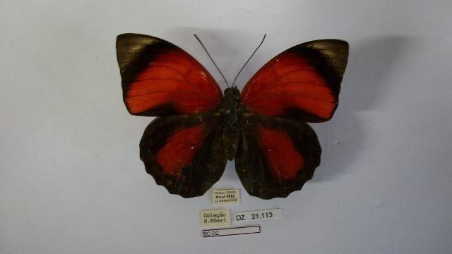 Image of <i>Prepona claudina</i>
