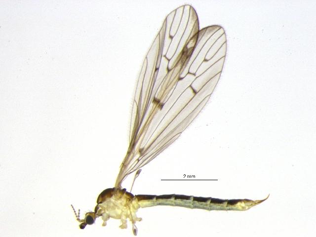 Image of <i><i>Idiocera</i></i> (Idiocera) <i>blanda</i> (Osten Sacken 1860)