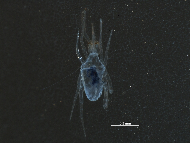 Image of Armascirus