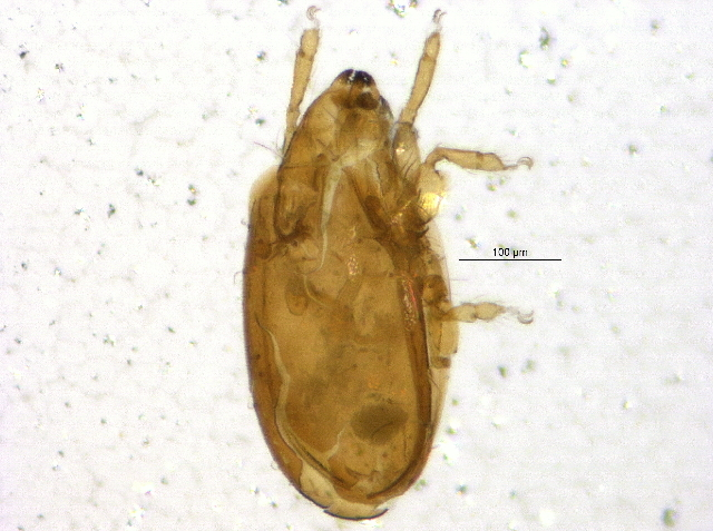 Image of Oripodidae
