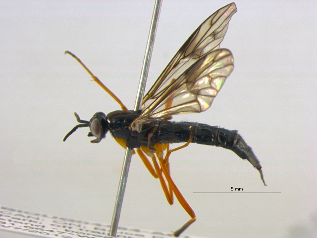 Image of Xylophagus