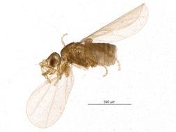 Image of Trophodeinus