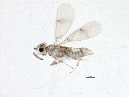 Image of Aphytis