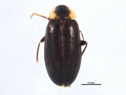 Image of <i>Elodes maculicollis</i> Horn 1880