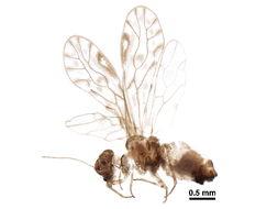 Image of <i>Philotarsus picicornis</i> (Fabricius & J. C. 1793)