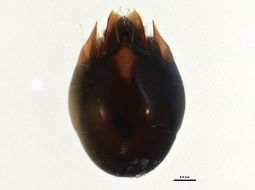 Image of Achipteria