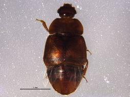 Image of <i>Colopterus truncatus</i> (Randall 1838)