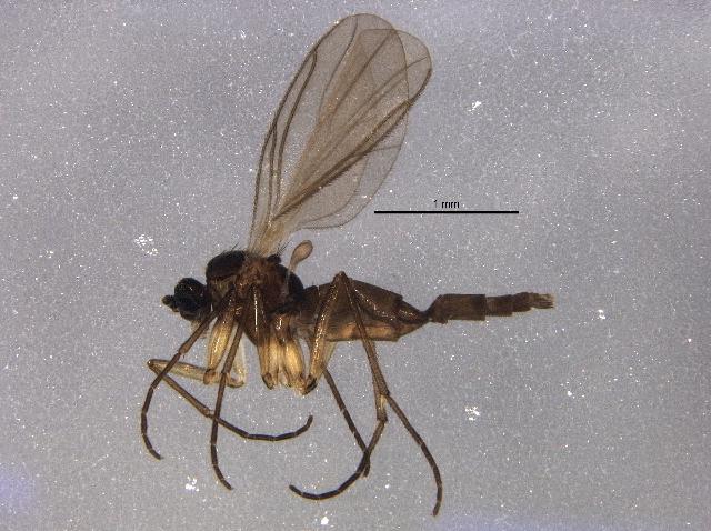 Image of <i>Corynoptera subtrivialis</i> (Pettey 1918)