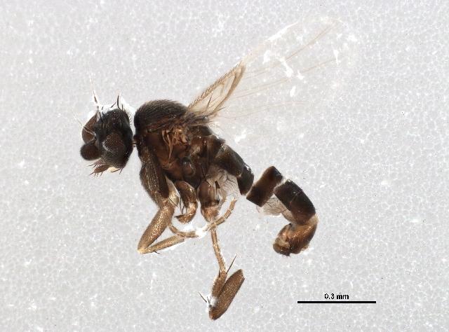 Image of <i>Conicera similis</i> Haliday 1833