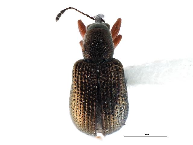 Image of Temnocerus