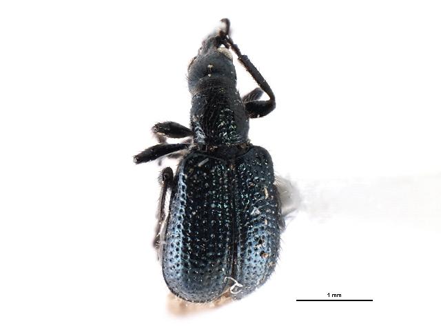 Image of Deporaus