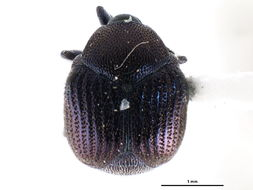 Image of Pterocolinae