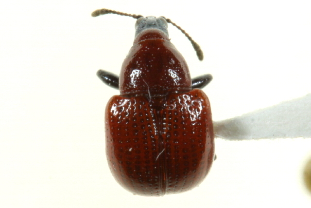 Image of Attelabinae