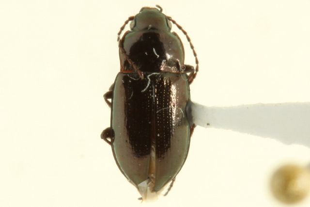 Image of false ground beetles