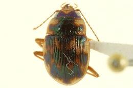 Image of Round Sand Beetles