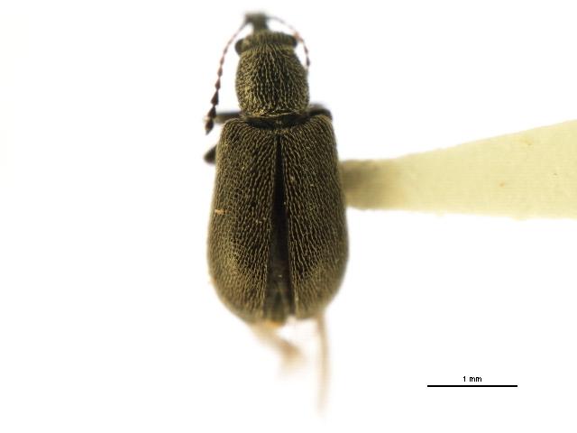 Image of Cimberidinae