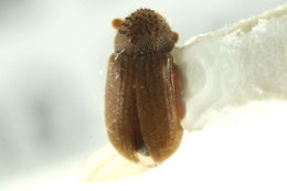 Image of Cryphalus