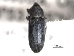 Image of Mecinus