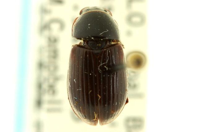 Image of Agoliinus