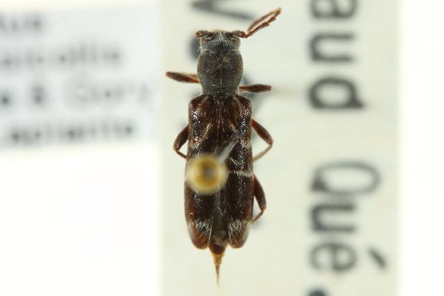 Image of Microclytus