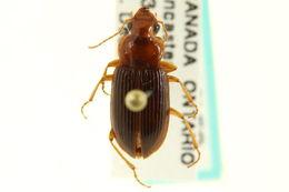 Image of Trichotichnus
