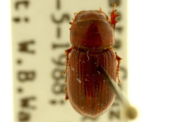Image of Dellacasiellus