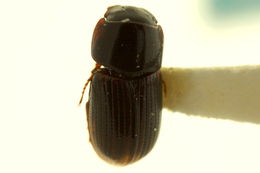 Image of Liothorax