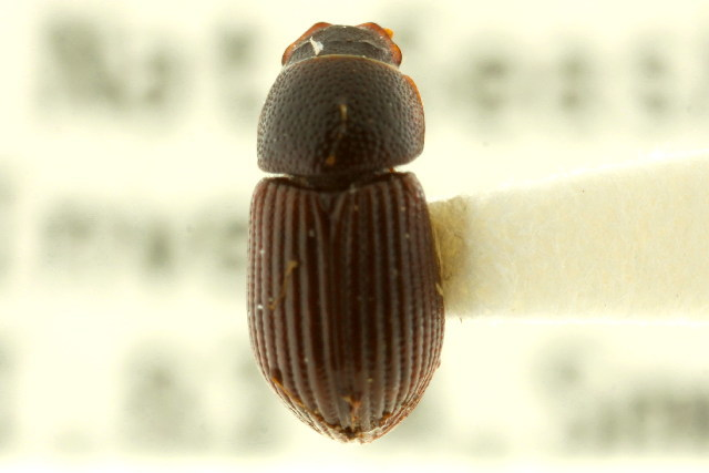 Image of Planolinoides