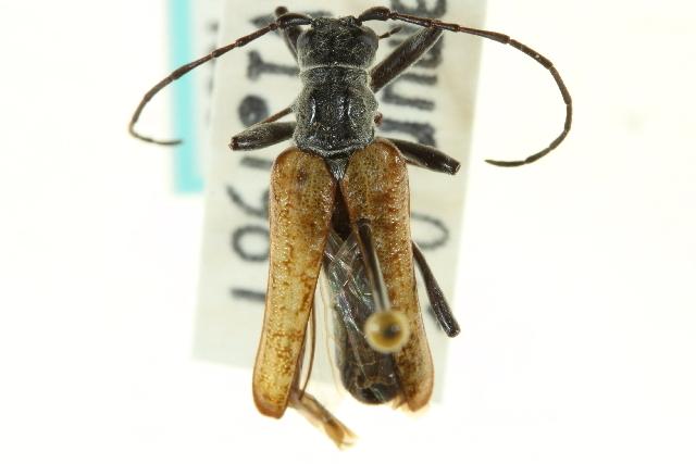 Image of Anthophylax