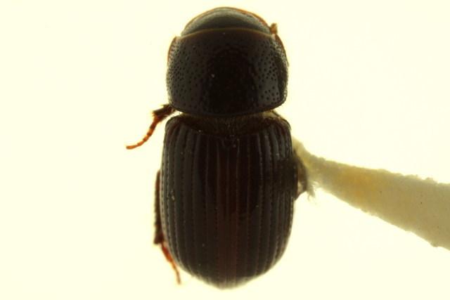 Image of Aegialia
