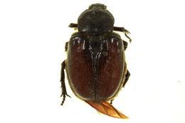 Image of Osmoderma