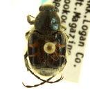 Image of Trichiotinus