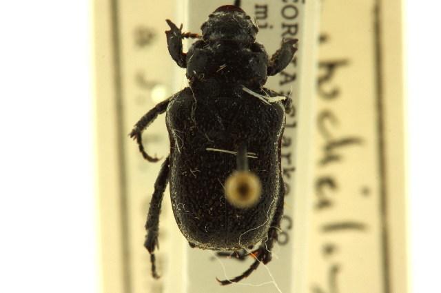 Image of Anteater Scarab Beetles