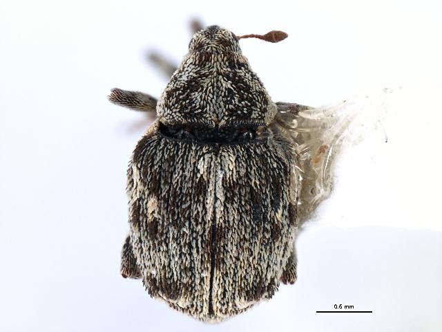 Image of Sirocalodes