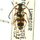 Image of Typocerus