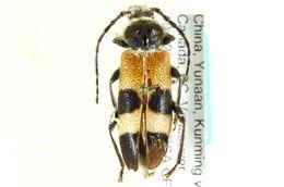 Image of Semanotus