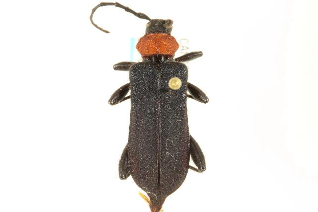Image of Ropalopus