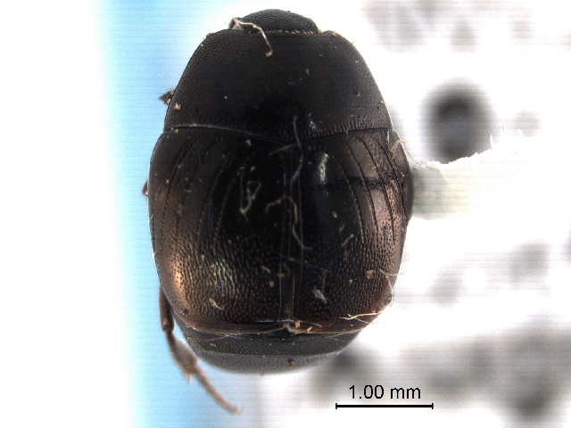 Image of Xerosaprinus