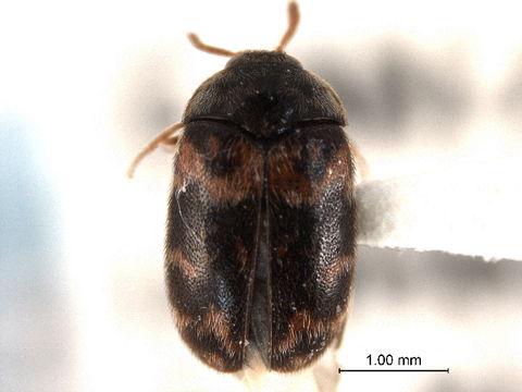 Image of Trogoderma