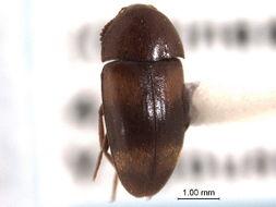 Image of Eustrophinae