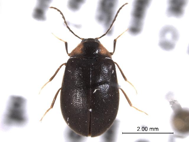 Image of Eubriinae
