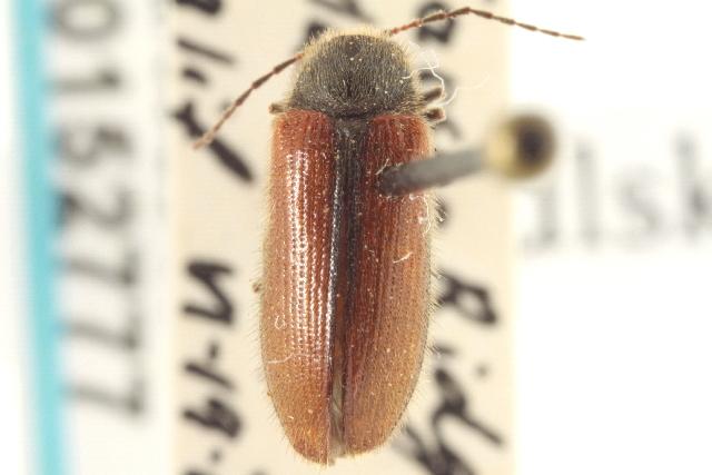 Image of Macropogon