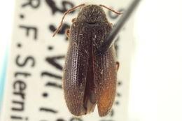 Image of Eurypogon