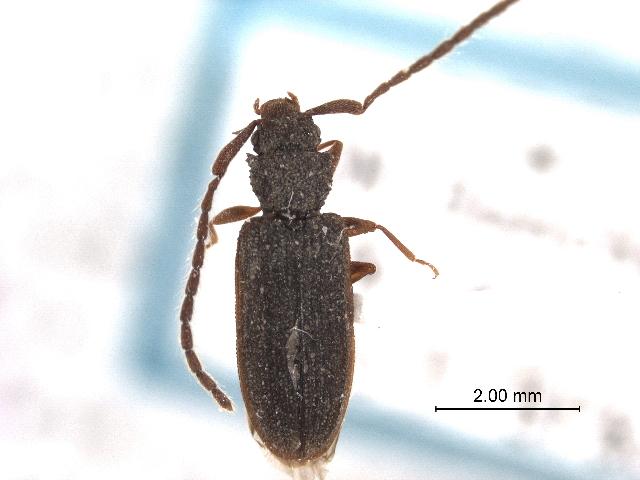 Image of Uleiota