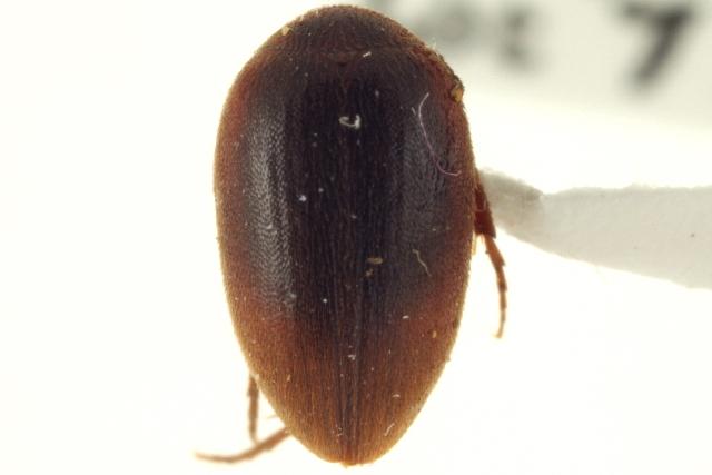 Image of Nycteus