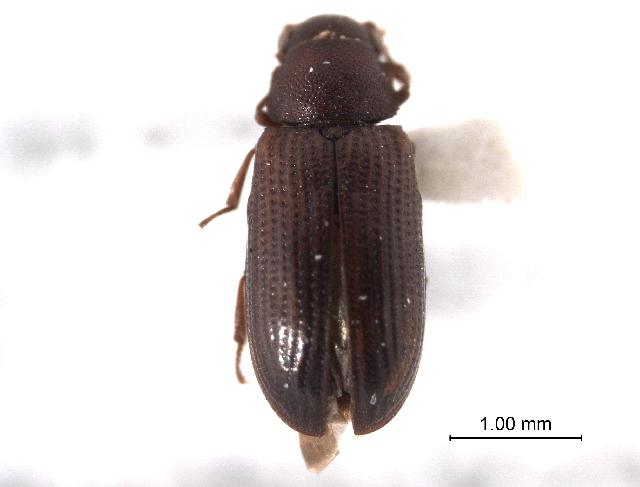 Image of Odontosphindus