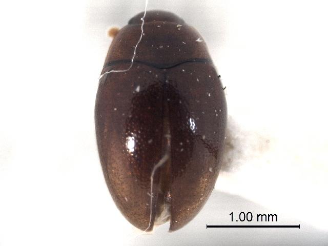 Image of Euxestinae
