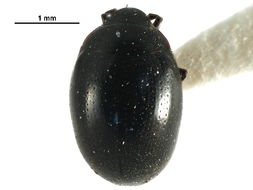 Image of Nosodendron