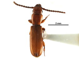 Image of parasitic flat bark beetles
